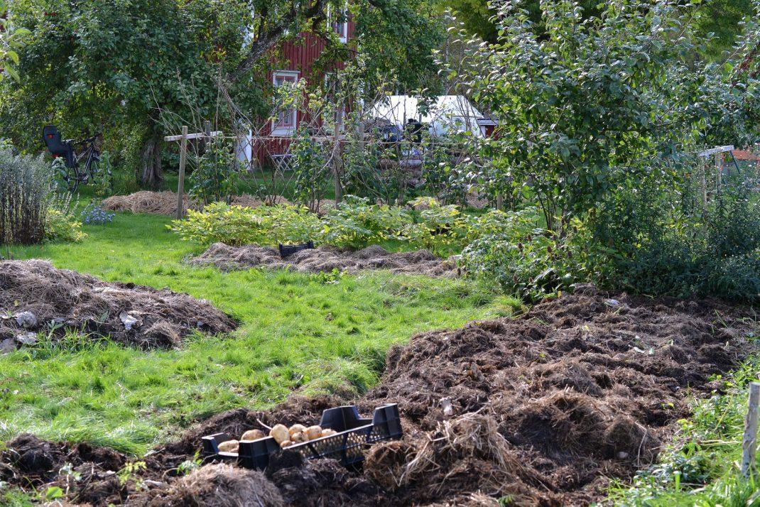 Den blivande blomsterbädden är fortfarande täckt med organiskt material. No-dig flower beds, my future bed is covered with mulch.