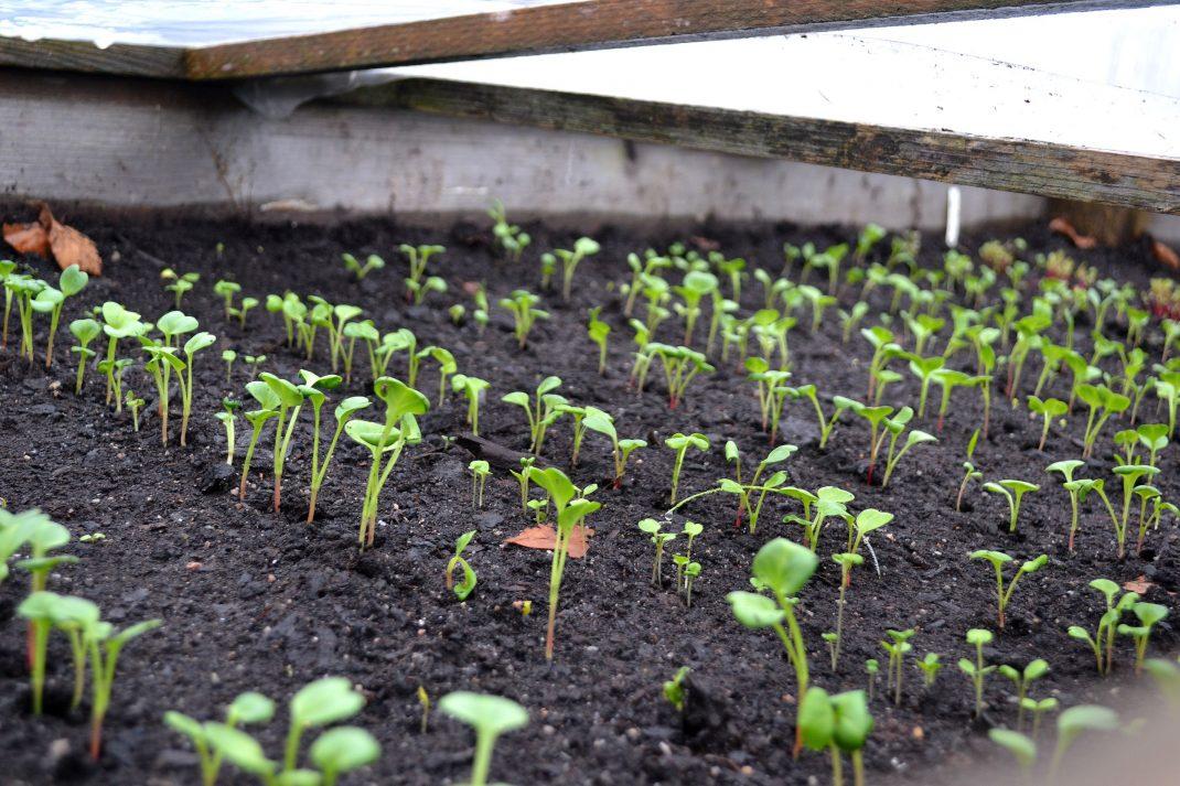 Grönsaker gror under lock i varmbänken.