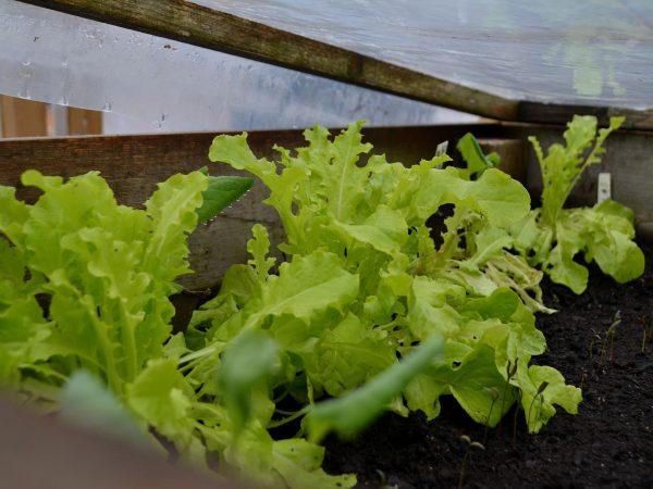 Sallat växer i varmbänken, mitten av mars.