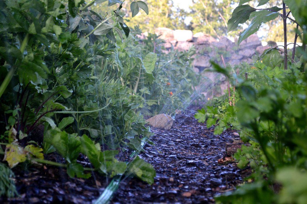 En platt vattenslang skjuter ut vatten mellan grönsakerna.