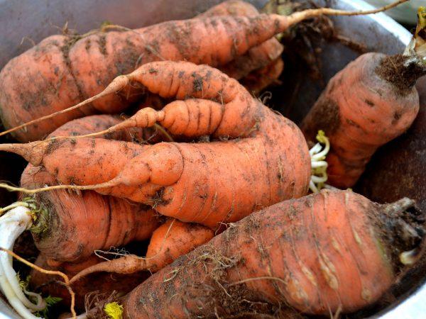 Stora morötter ligger i en rostfri skål.
