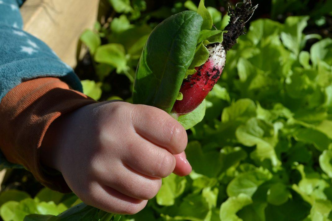 En liten hand håller ett knippe med spenatblad och rädisor och sallat.