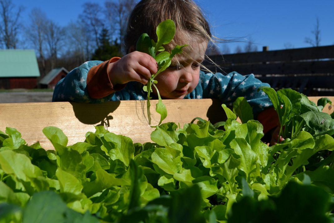 Ett litet barn plockar grönsaker som hon håller i handen.