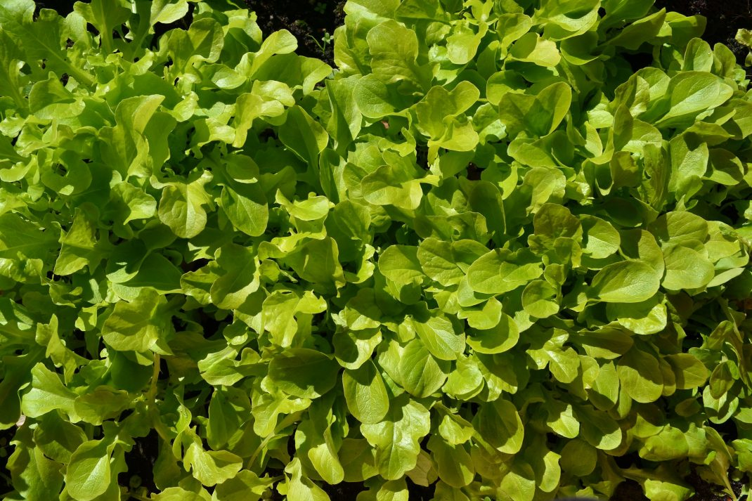En tjock matta av gröna blad.