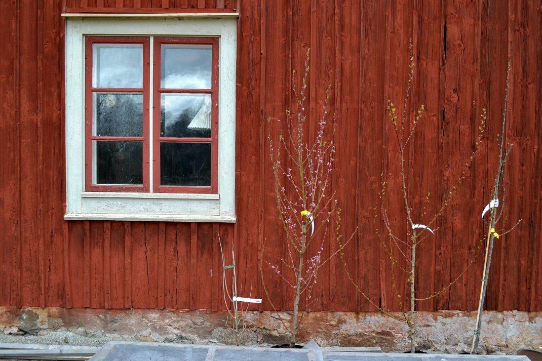 Nyinköpta träd står längs fasaden av huset.