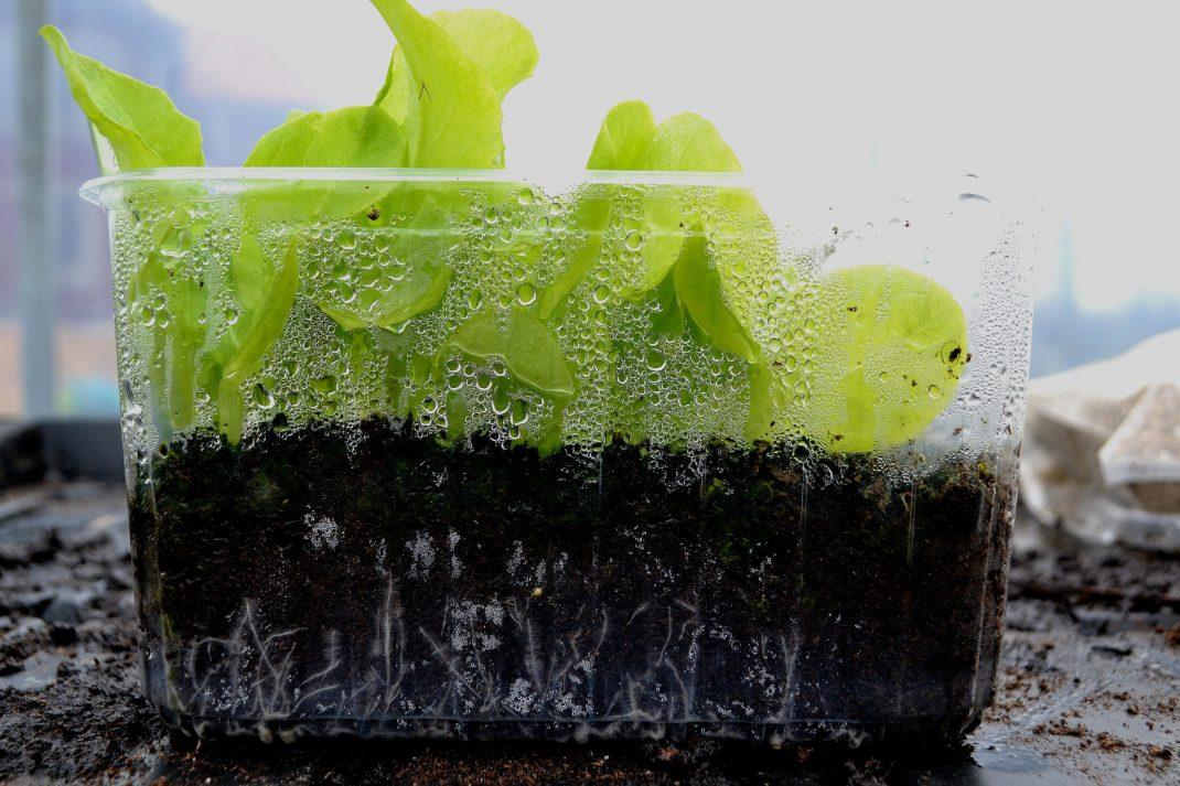 Ett tråg med fina ljusgröna sallatsplantor.