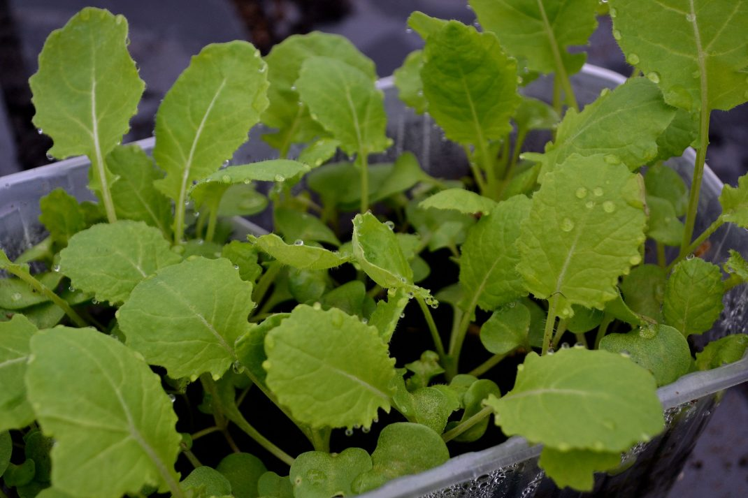 Små gröna plantor på tillväxt i ett litet tråg.