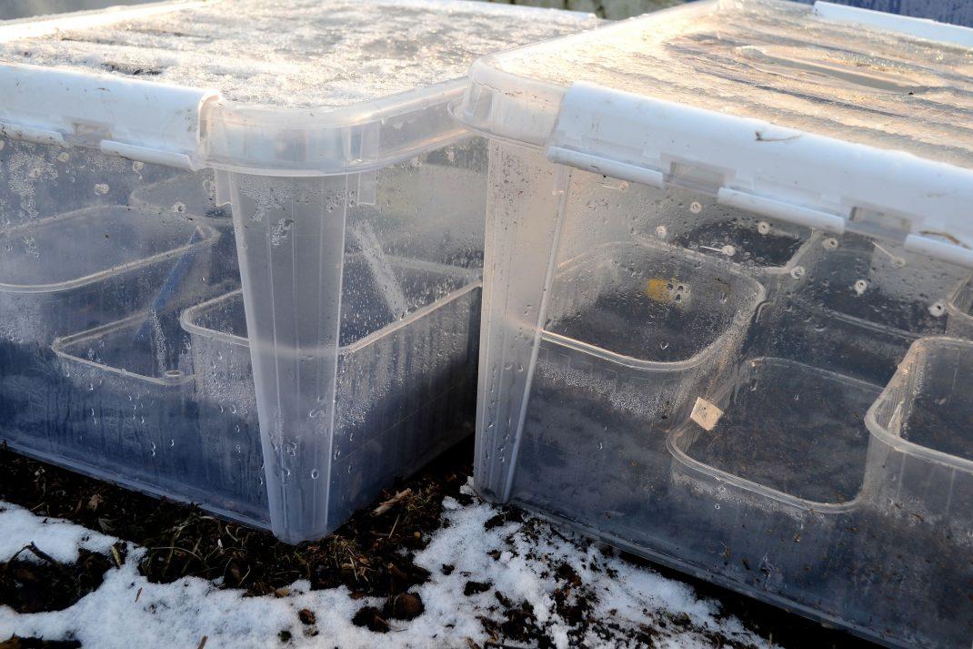 Bland snö står de genomskinliga plastbackarna, ännu utan någon synlig grönska i trågen inuti.