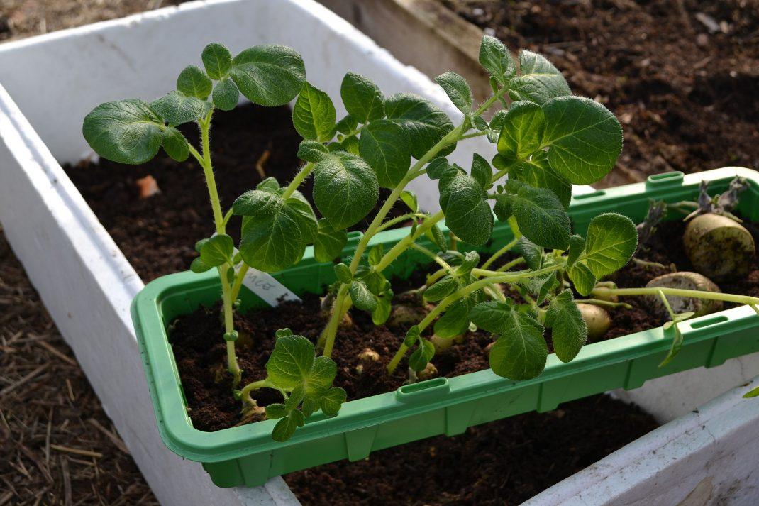 Sättpotatis med lång blast redo att planteras.