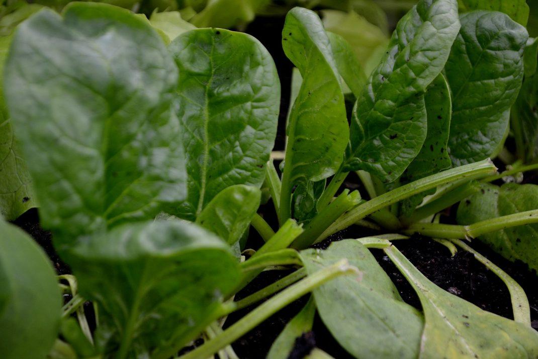 En rad med spenat som blivit skördad blad för blad.