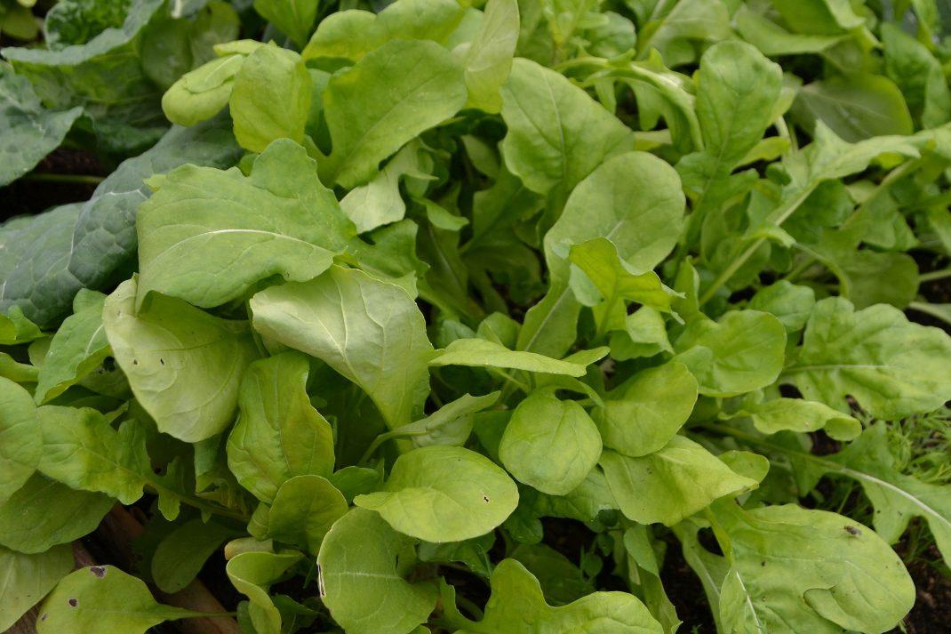 En yvig och sallatslik rucola med ljust gröna blad.