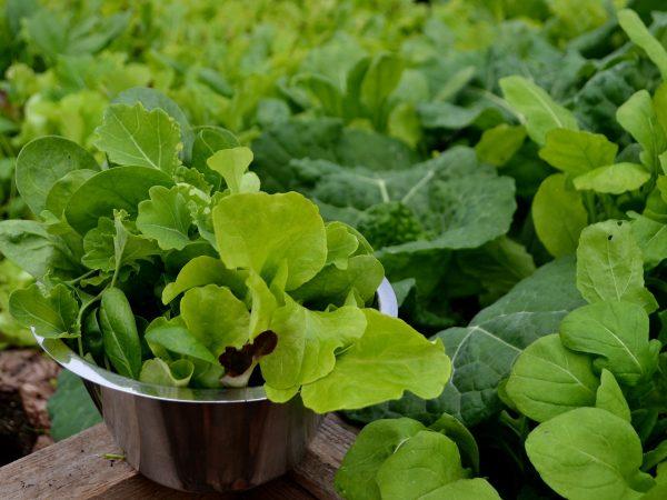 En rostfri skål fylld av nyskördade gröna blad.