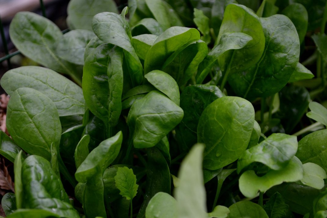 En tät matta av gröna spenatblad.
