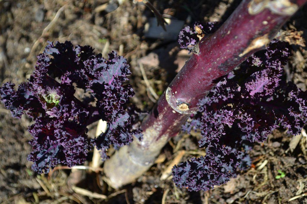 En planta purpurkål står kvar i landet.