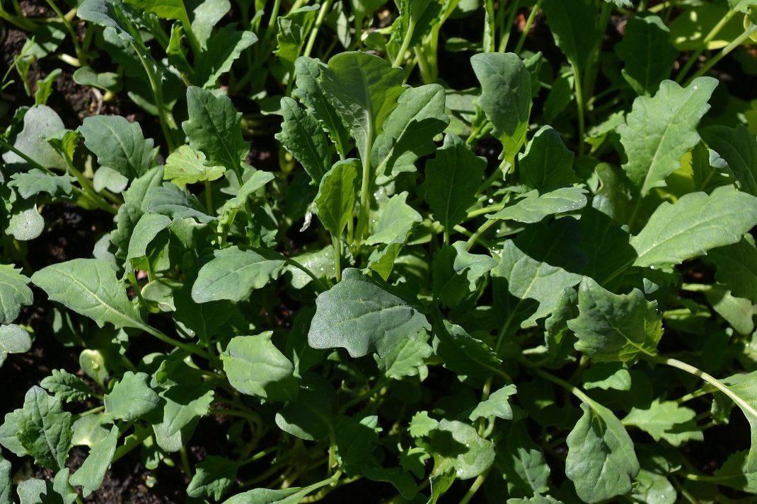 En mörkt grön matta av späda kålblad.