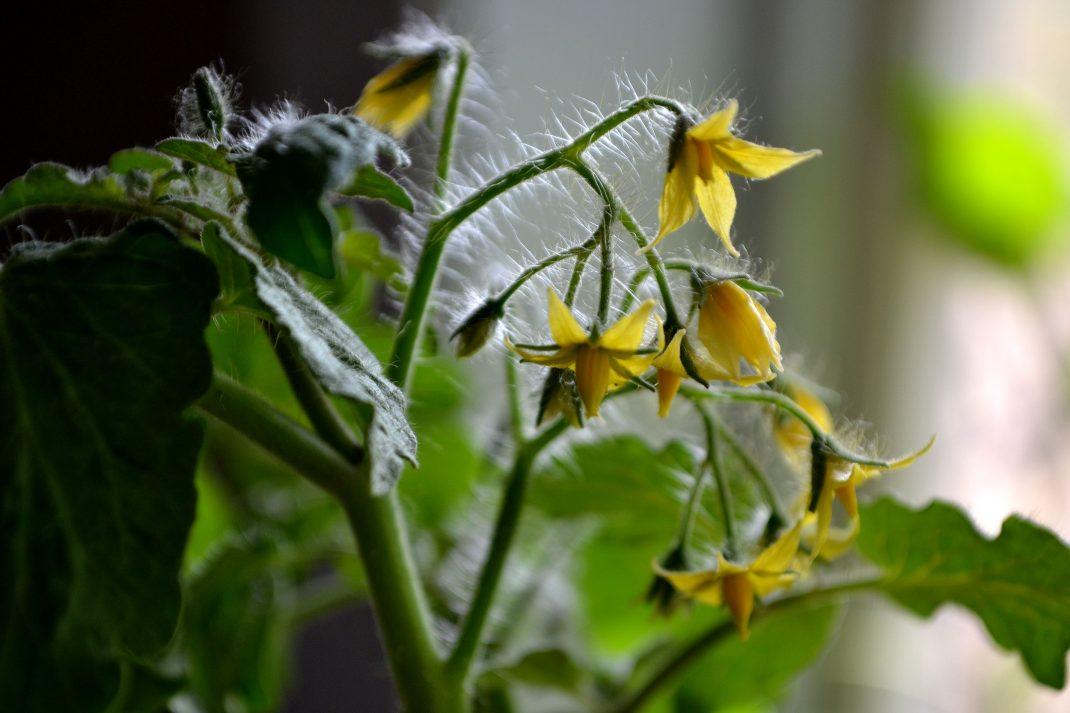 Gula blommor på en grön tomatplanta.