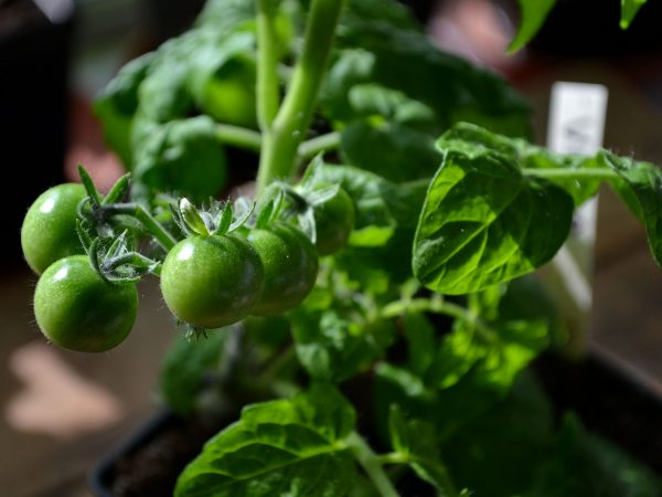 Små gröna tomater i en klase på en mycket liten tomatplanta.