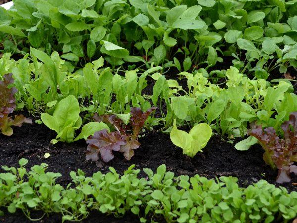Gröna grönsaker i varmbänken.