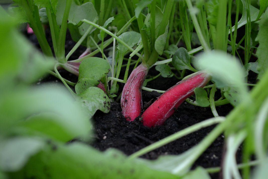 Två avlånga rädisor står i jord i varmbänken.