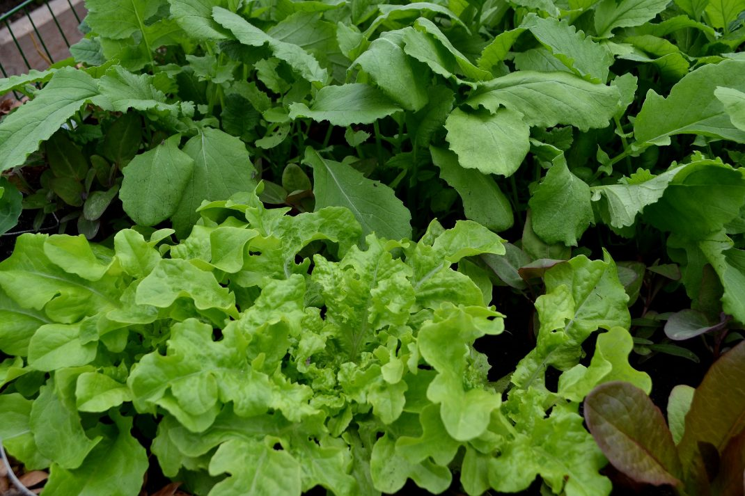 Grön sallat i varmbänken.