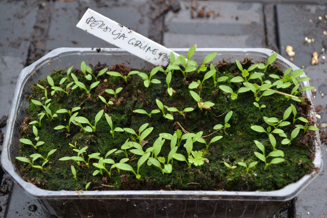 Små, små gröna pluttar av persilja har grott i ett tråg.
