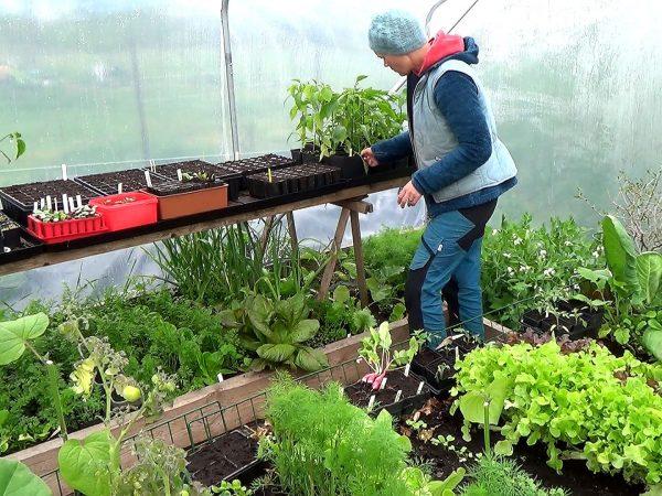Jag donar i tunnelväxthuset som är fullt av gröna grönsaker.