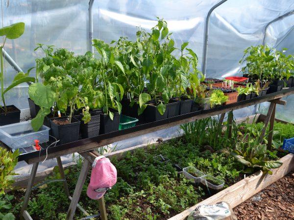 En bänk med plantor i tunnelväxthuset.