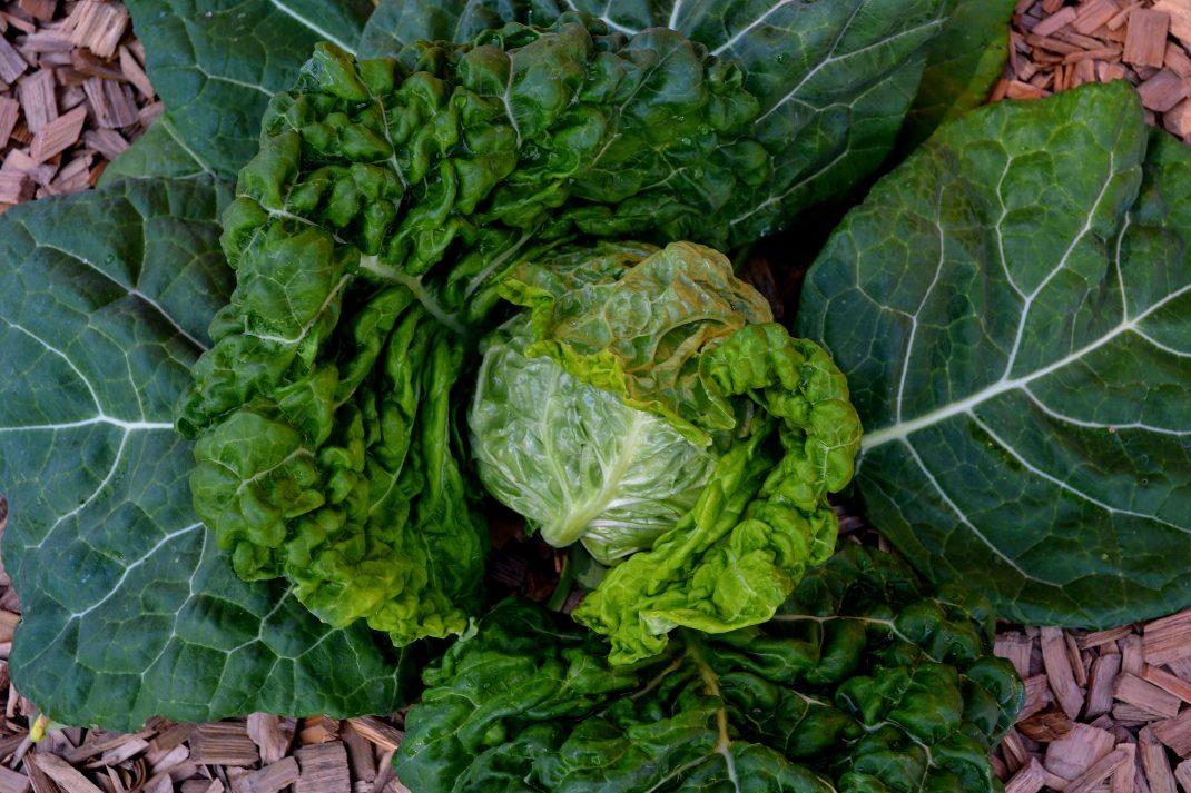Ett huvud av savoykål ligger på marken.