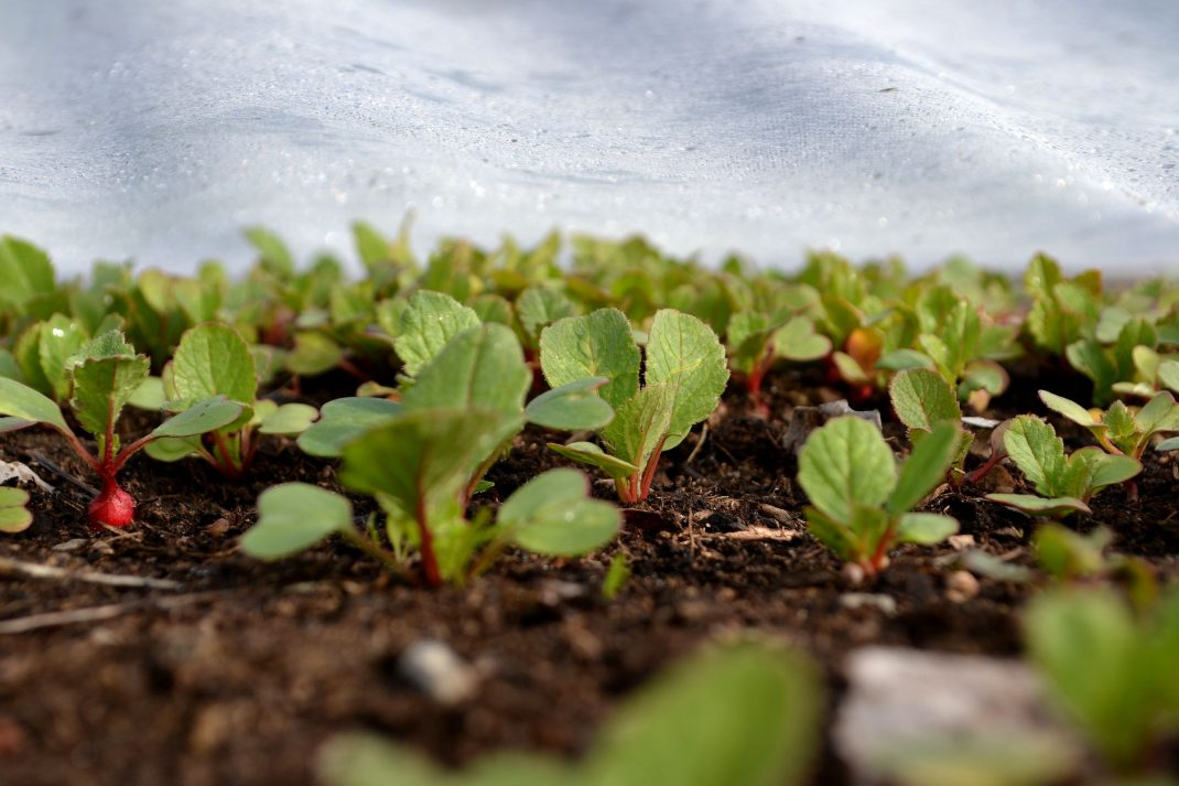 Rädisa växer under fiberduk i pallkragar.