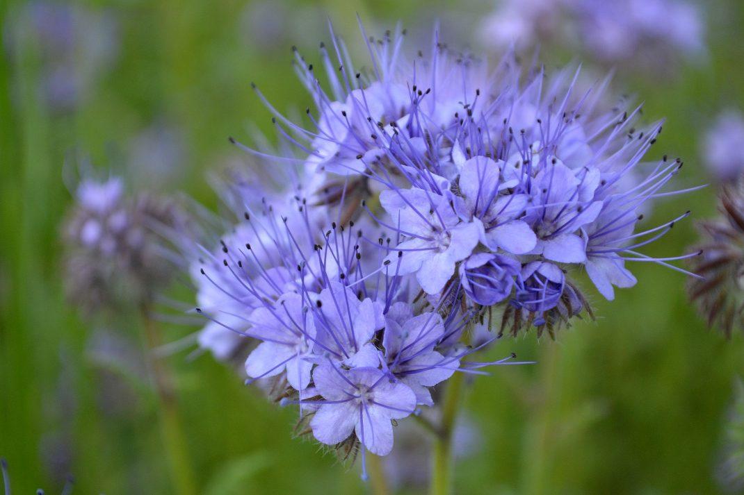 Ett kluster med lila små blommor.