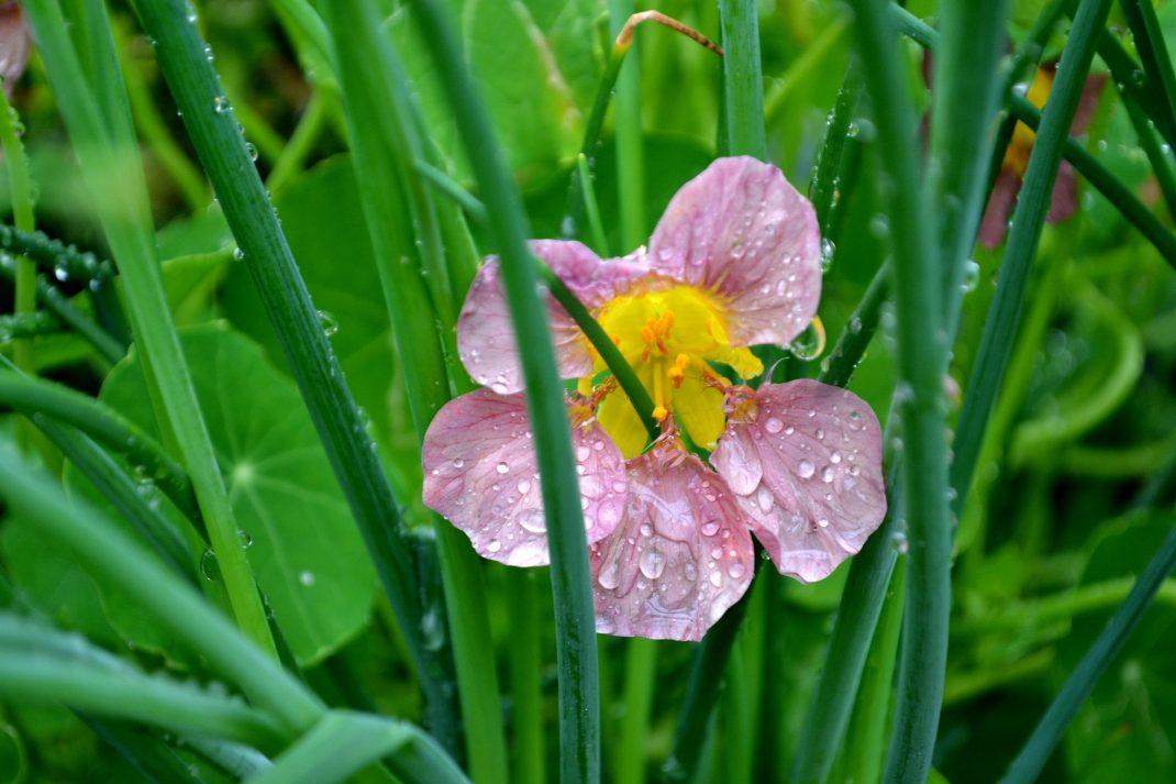 En rosa rosa krasseblomma med gul mitt mot gröna bladverket på gräslöken. Pink cress with green chives.