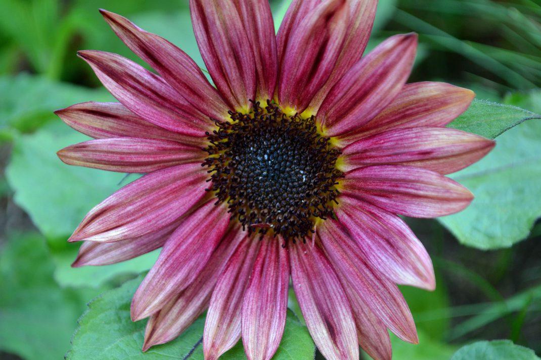 En rosa solros i köksträdgården.