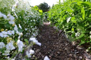 Vackra vita små blommor längs en av gångarna i köksträdgården.