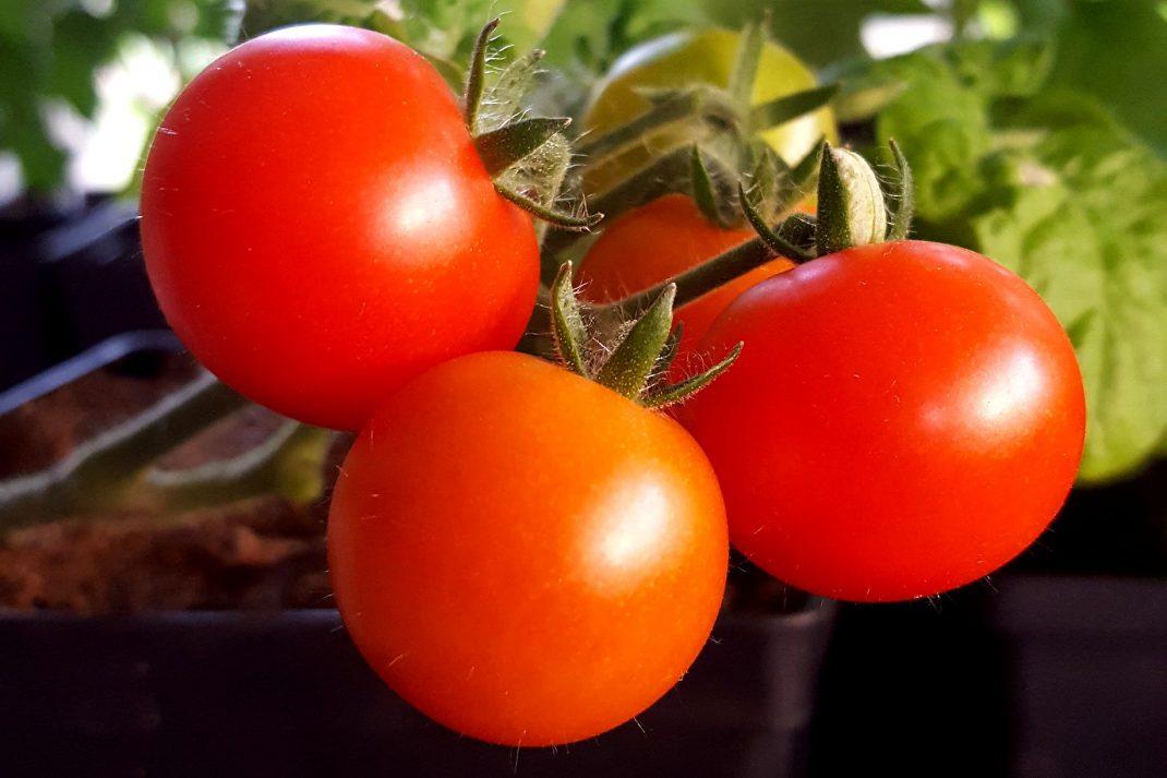 Solmogna små tomater på en planta.