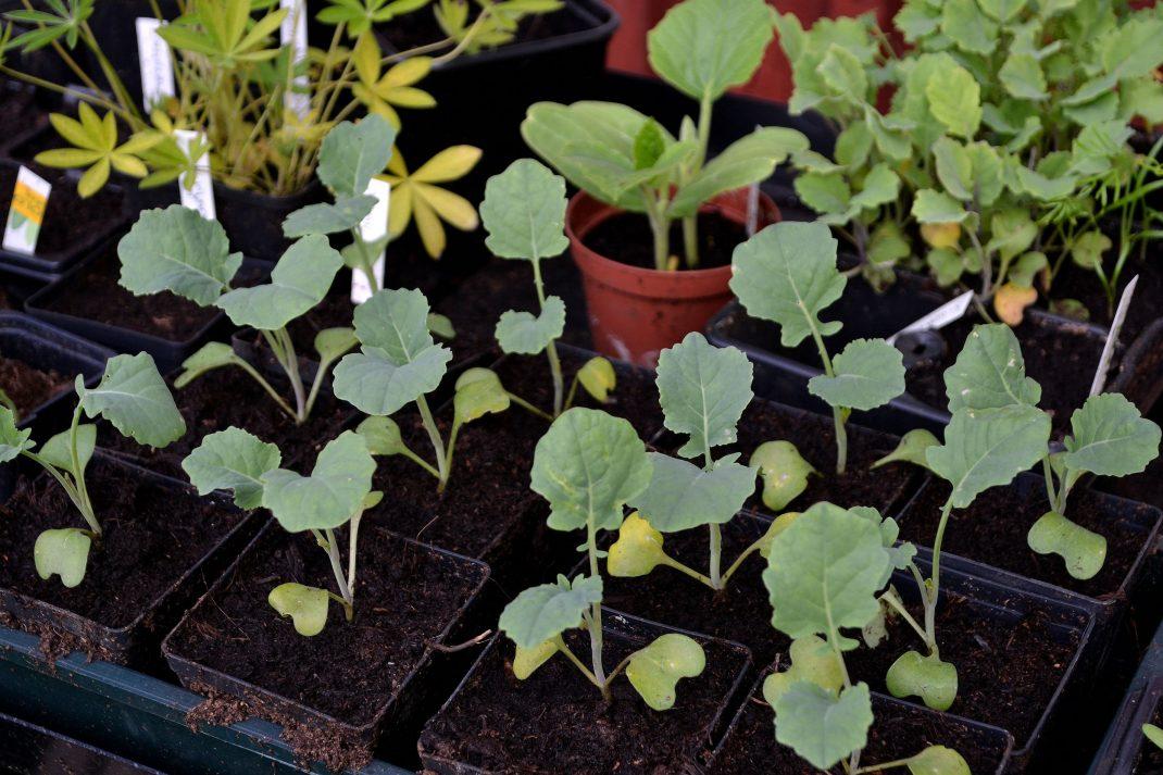 Små kålplantor i ett tråg.