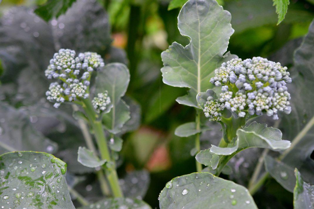 Två fina sidoskott av broccoli.