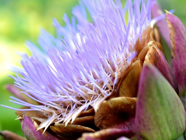 En lila blommande kronärtskocka.