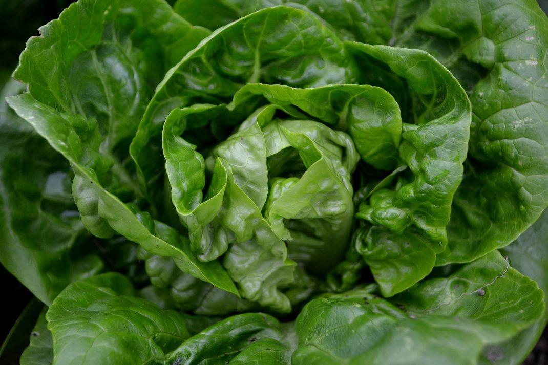 Ett litet sallatshuvud i läcker grön färg.