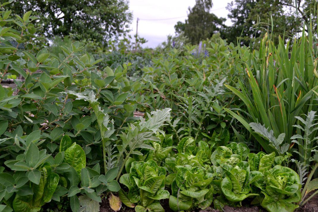 En grön växtplats med grönsaker och bärbuskar i olika höjd.