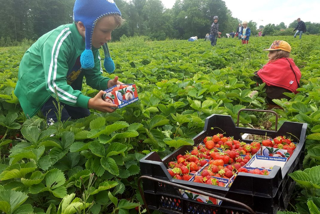 Barn plockar jordgubbar på ett stort fält.