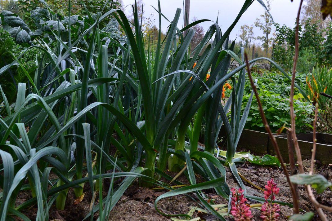 Frodig grön purjo i köksträdgården.
