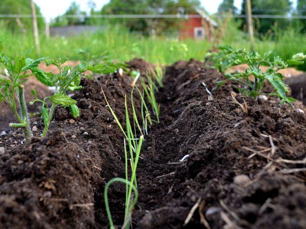 En odlingsbädd med fåra i mitten där purjolök planterats.