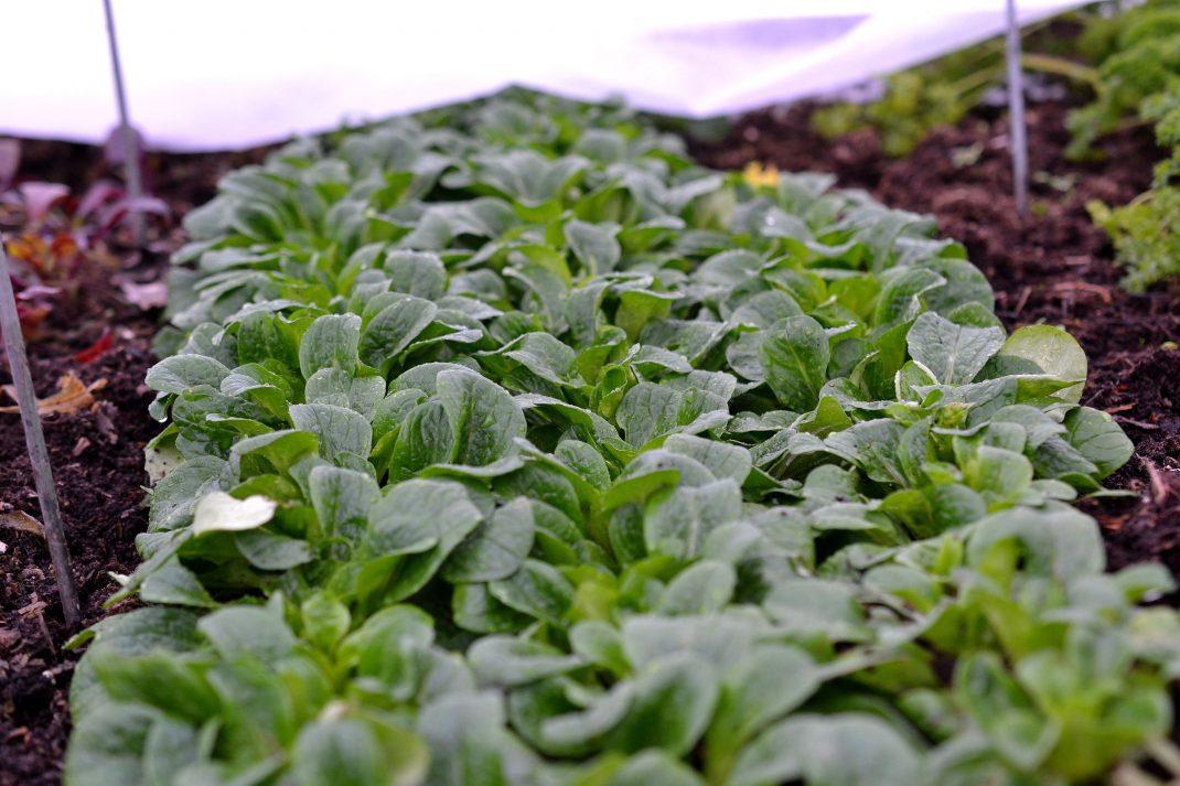 Täta rader av gröna blad.