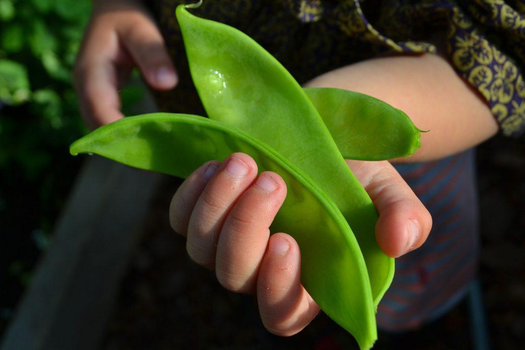 Jättestora sockerärter i ett litet barns hand.
