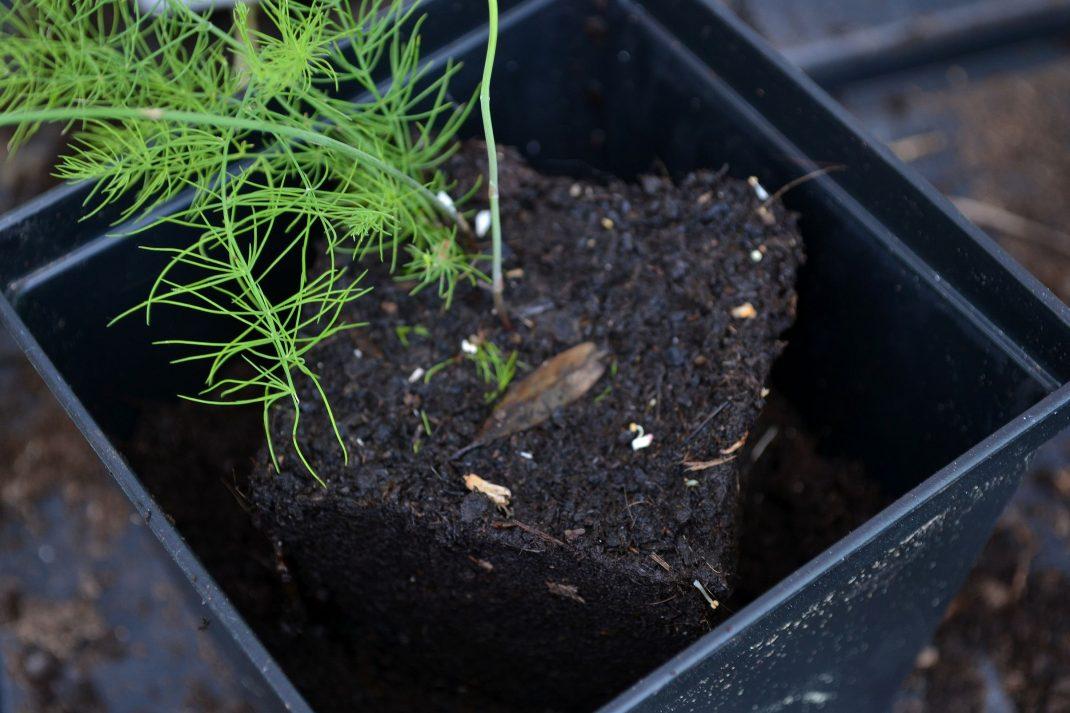 En liten planta står i en större kruka.