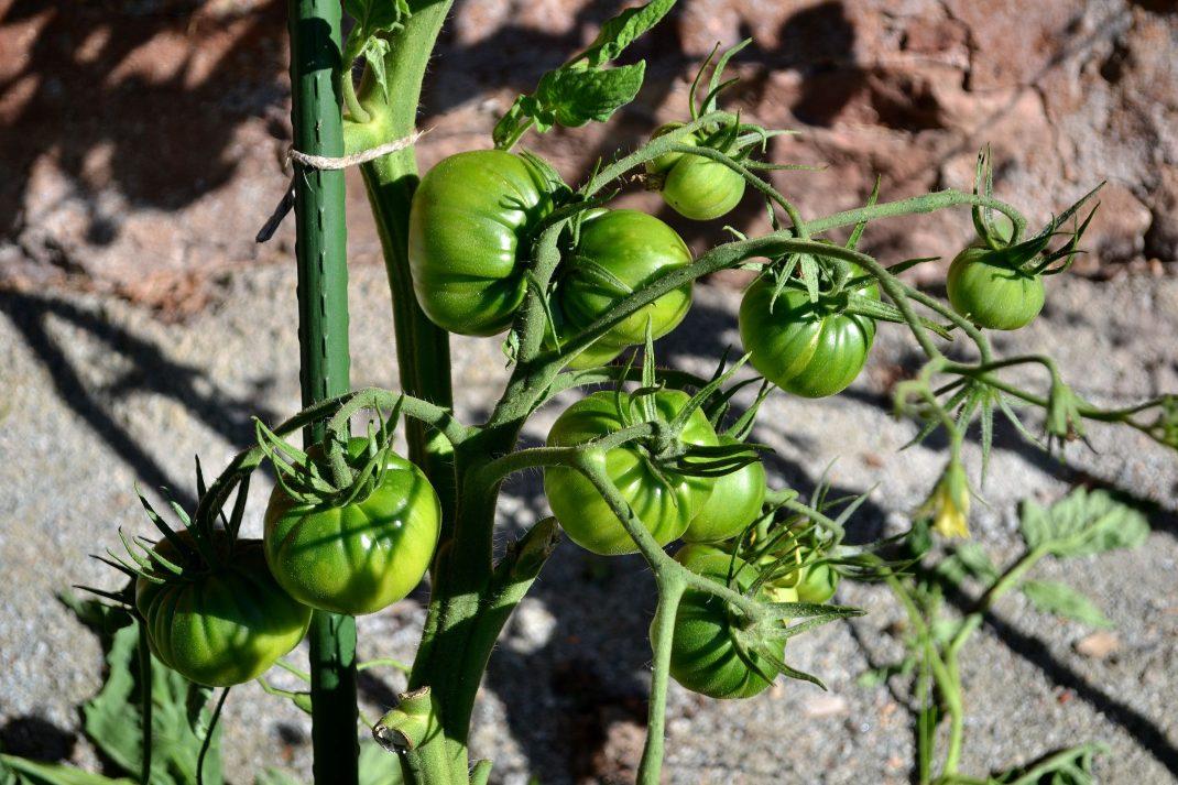 Tomater på en klase. Pruning tomato plants, tomatoes in a cluster.
