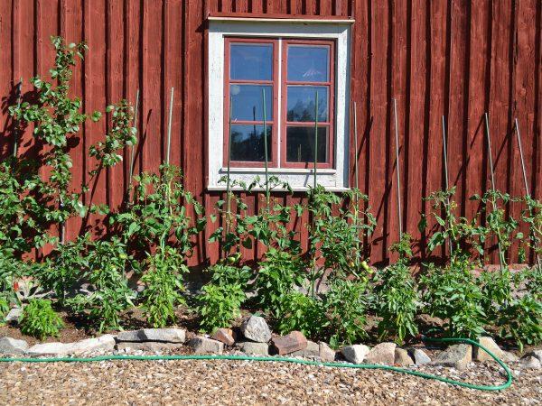 Tomatplantor längs södervägg.