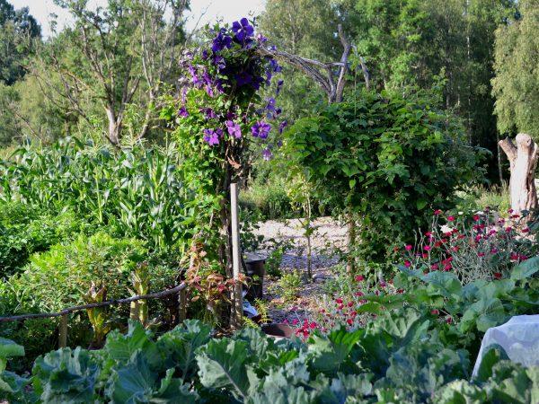 Del av köksträdgården med blommande blå klematis i bakgrunden.