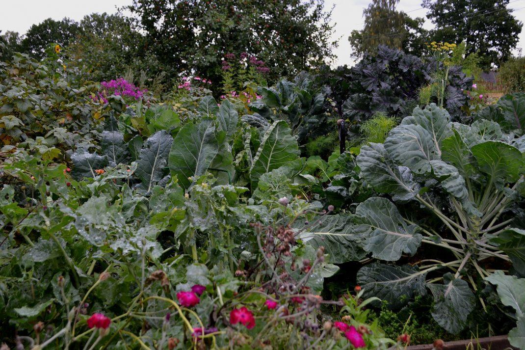Bild av kålkvarteret med stora maffiga kålplantor och rosa sommarblommor.