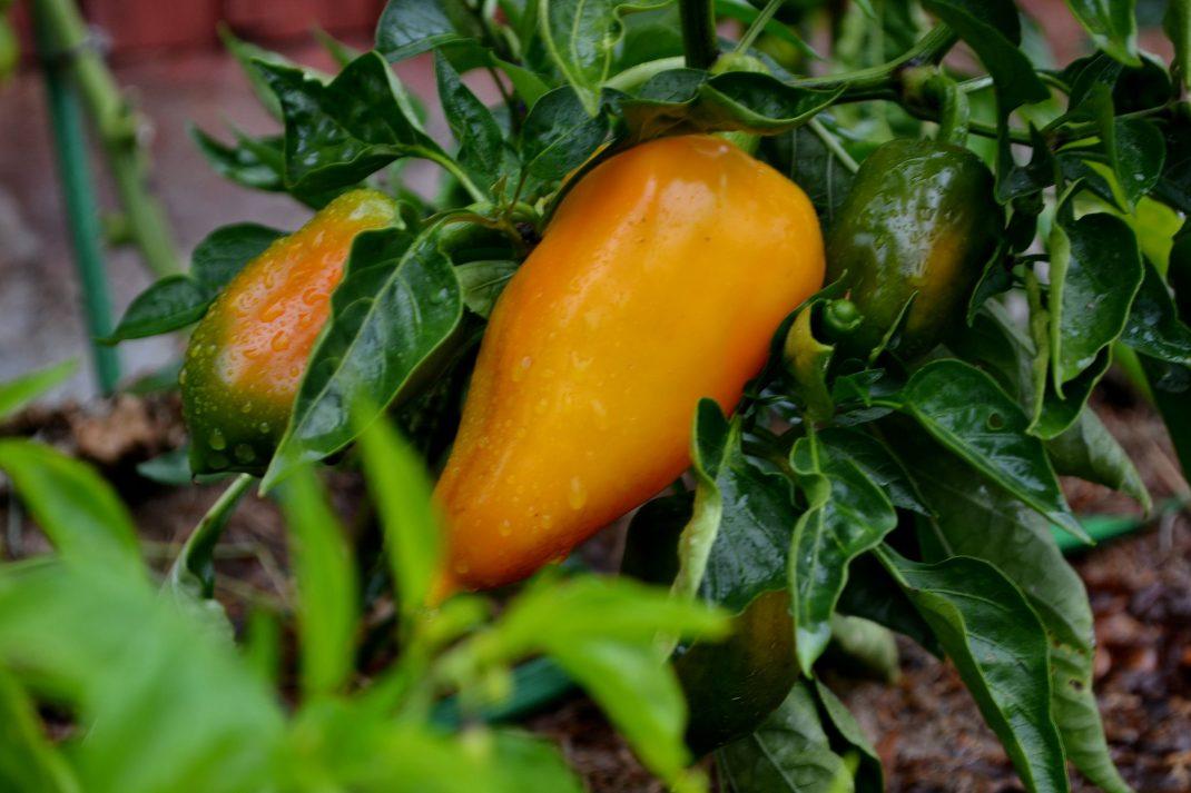 Gul paprika på en planta på frilan.